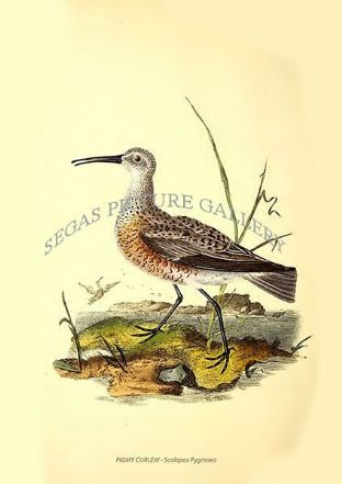 PIGMY CURLEW - Scolopax Pygmaea